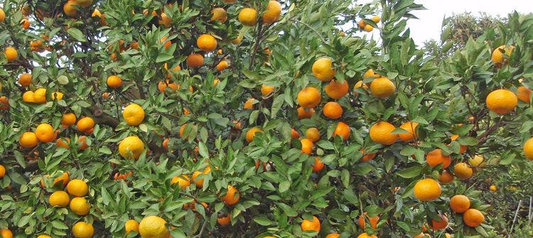 Louisiana citrus trees | Exterior Designs, Inc | New Orleans, LA