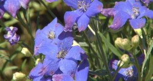 diamonds blue delphinium annuals