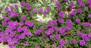 homestead purple verbena annuals
