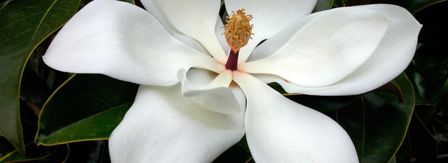 southern-magnolia-tree