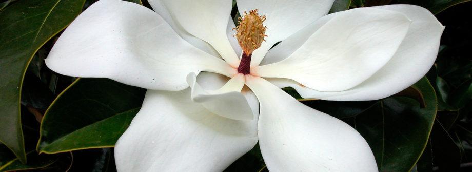 southern-magnolia-tree
