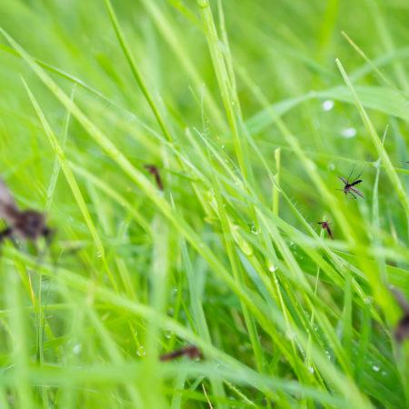 pesky mosquitos in green grass