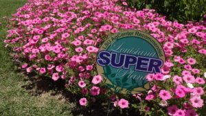 supertunia vista bubblegum petunia annuals