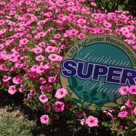 supertunia vista bubblegum petunia annuals
